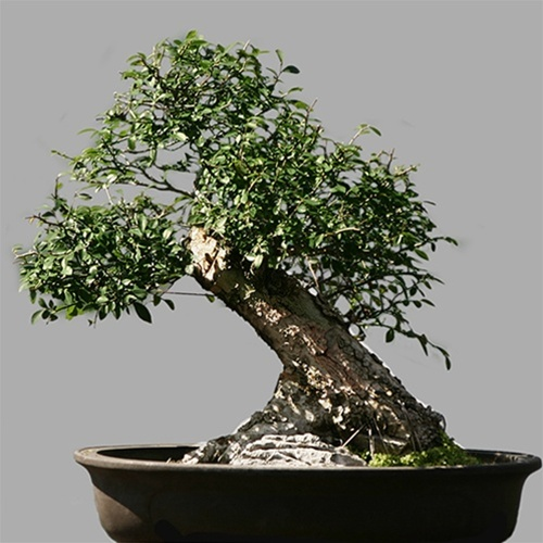 Showcase Showcase Chinese Elm Bonsai Tree
