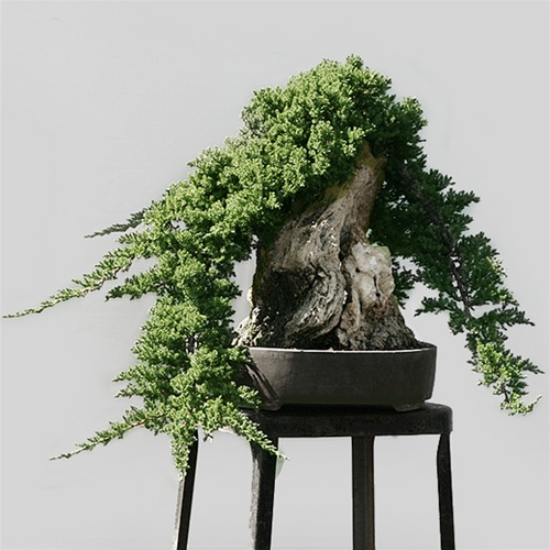 Showcase Juniper Bonsai Tree