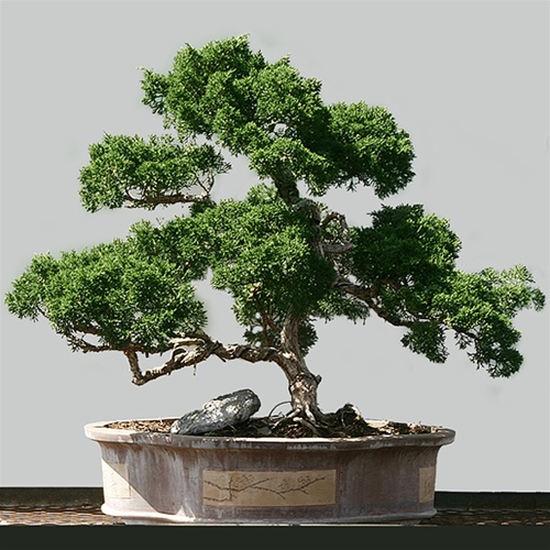 Showcase Showcase Shimpaku Juniper Bonsai Tree