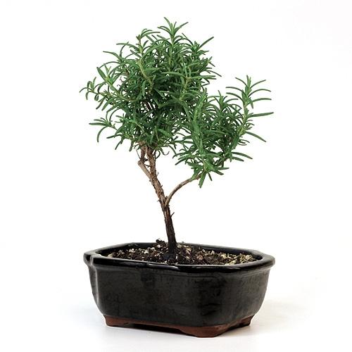 bonsai rosemary bonsai tree from easternleaf com rh easternleaf com Jasmine Bonsai Weeping Willow Bonsai