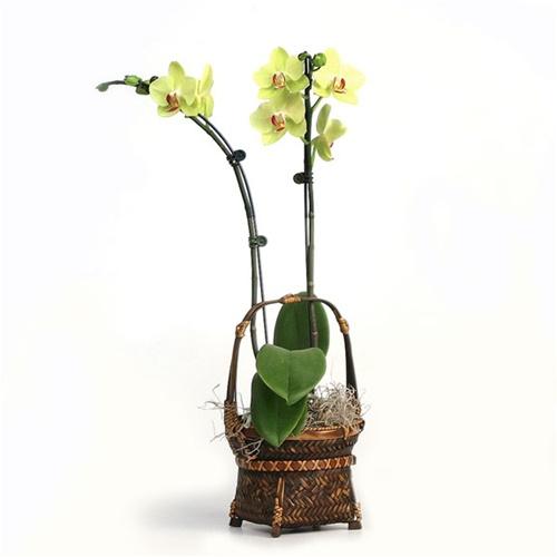 yellow phalaenopsis orchid basket