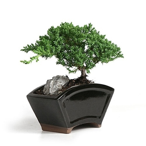 Bonsai Juniper Fan Style Tree Larger Photo Email A Friend