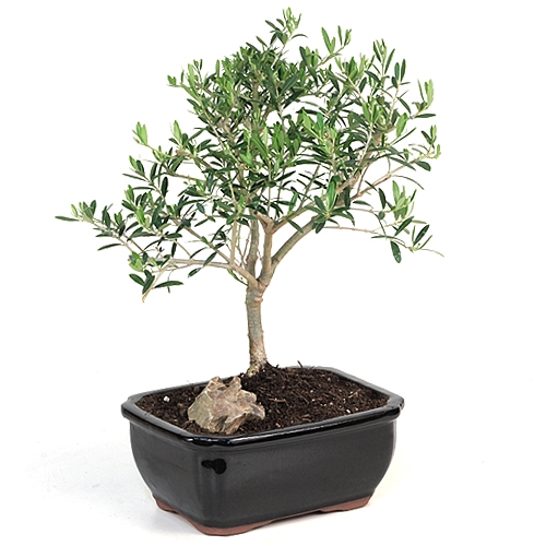 Olive bonsai tree for Olive plant care