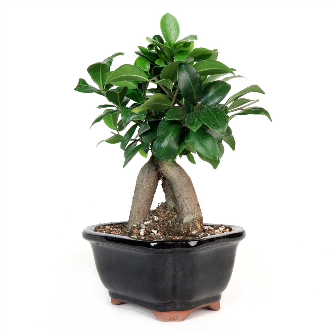 bonsai ginseng ficus bonsai from the ginseng ficus has a think trunk that is. Black Bedroom Furniture Sets. Home Design Ideas
