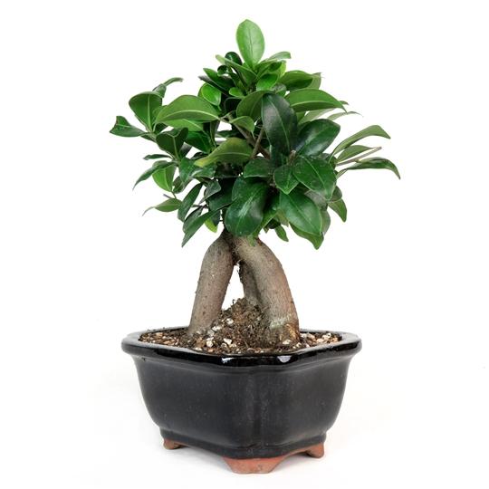 Bonsi tree ficus
