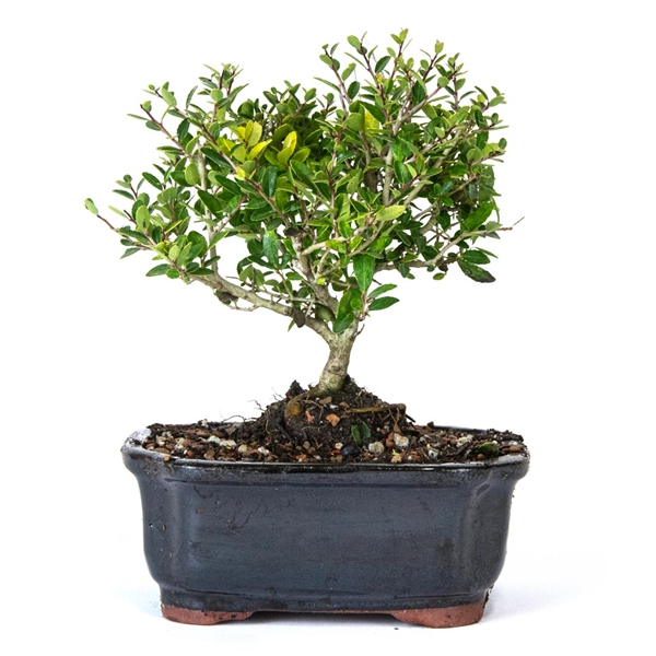 Yaupon Holly Bonsai Tree From Easternleaf Com Yaupon Holly Bonsai Tree Is Native To Florida The Yaupon Holly Has Small Leathery Oval Leaves The Yaupon Holly Produces Flowers And Berries