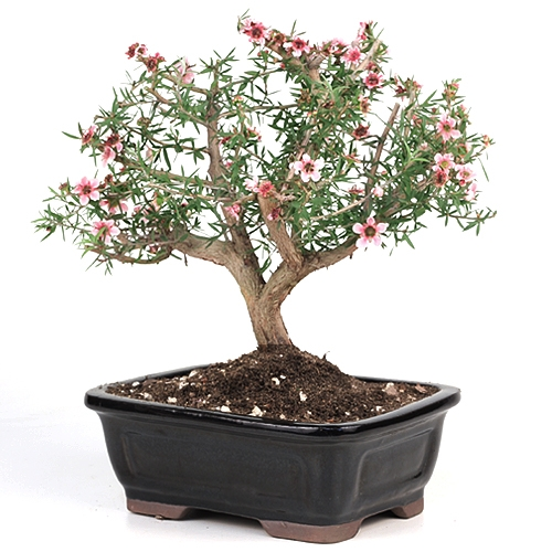 New Zealand Tea Tree Bonsai