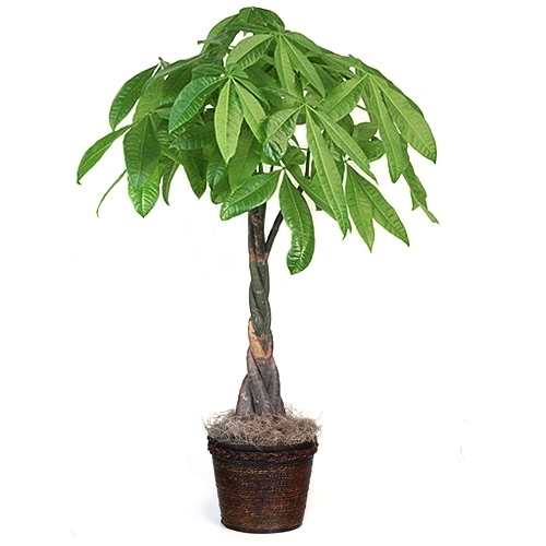 Large Tall Money Tree From Easternleaf Com
