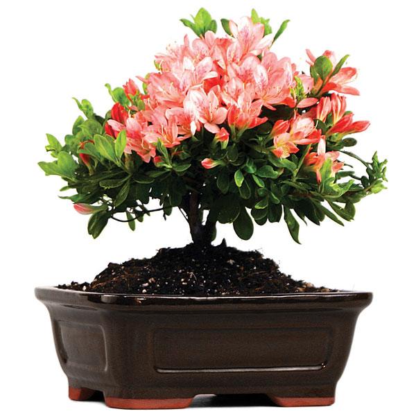 Easternleaf Com Satsuki Azalea Apple Blossom Only 45