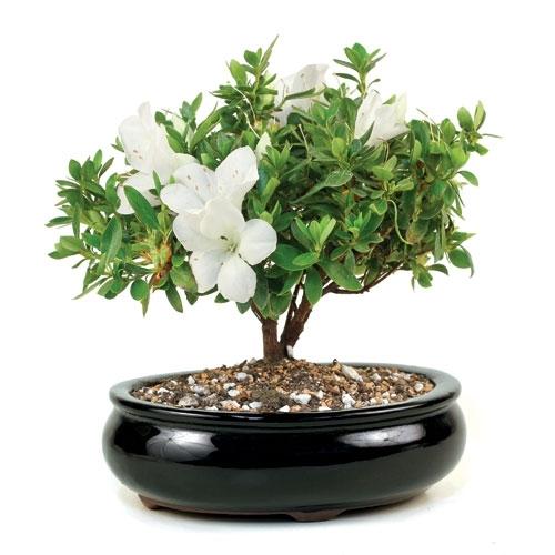 Flowering Azalea Bonsai Tree