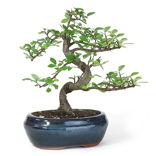 bonsai chinese elm bonsai tree from the. Black Bedroom Furniture Sets. Home Design Ideas
