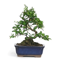 Bonsai - Fujian Tea Bonsai Tree