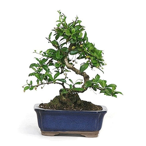 Bonsai - Fujian Tea Bonsai Tree from EasternLeaf.com