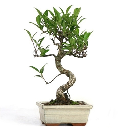 Bonsai Miniature Golden Gate Ficus Bonsai From Easternleaf Com The Most Unique Species Of The Bonsai Trees The Golden Gate Ficus Bonsai Has A Unique Form Thick Trunk And Soft Foliage The