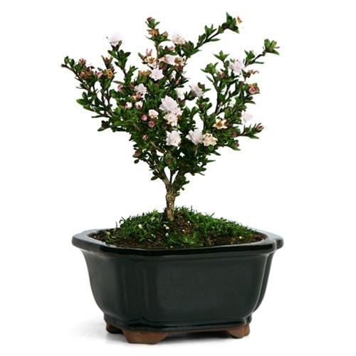 Serissa Japonica Snowrose Bonsai Tree