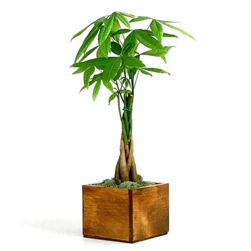 Money Tree - Wooden Pot from EasternLeaf.com on chinese perfume plant, coin plant, chinese dollar plant, chinese lucky plants, chinese people plant, chinese fringe plant, chinese coin tree, chinese plants and trees, chinese palm plant, chinese bamboo plant, chinese bamboo tree, chinese new year good luck plant, chinese house plants, chinese jasmine plant, chinese dragon plant, calathea ornata plant, chinese good luck money plant, chinese fern plant, chinese good luck tree, lucky money plant,