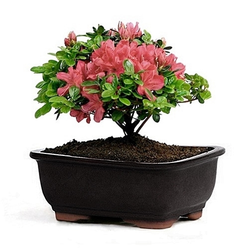 Flowering Azalea Bonsai Magenta Blooms