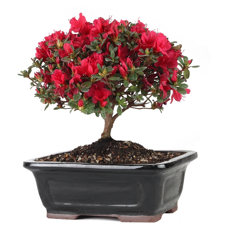 Flowering Azalea Bonsai Red Blooms