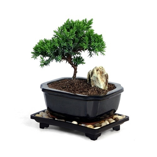 Bonsai Mini Juniper Bonsai Tree At Easternleaf Com Junipers Have A Forgiving Growth Pattern It Is Easily Trainable And Perfect To Cultivate With Proper Tools And Wires Into A Stunning Windswept Silhouette