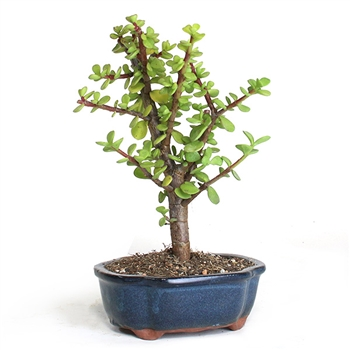 Bonsai - Jade Bonsai Tree