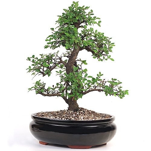 Bonsai Chinese Elm Bonsai Tree From Easternleaf Com Characterized By Its Leaf Shape And Strong Stem Development The Chinese Elm Bonsai Tree Will Continually Produce Fresh Leaves To Any Shape This