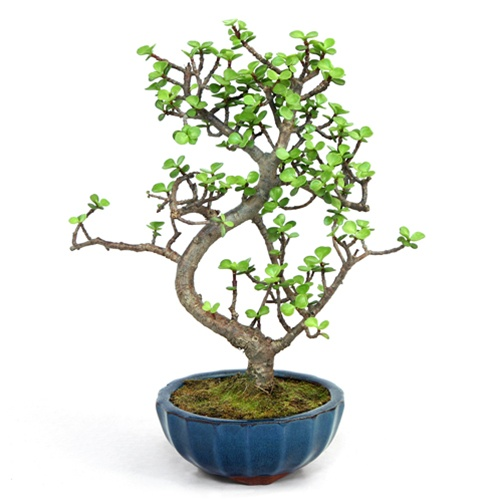 Bonsai Jade Bonsai Tree From Easternleaf Com The Jade Bonsai Is A Evergreen Succulent The Must Be Grown Indoors The Jade Bonsai Is From The Crassula Species And Is Known To Bring