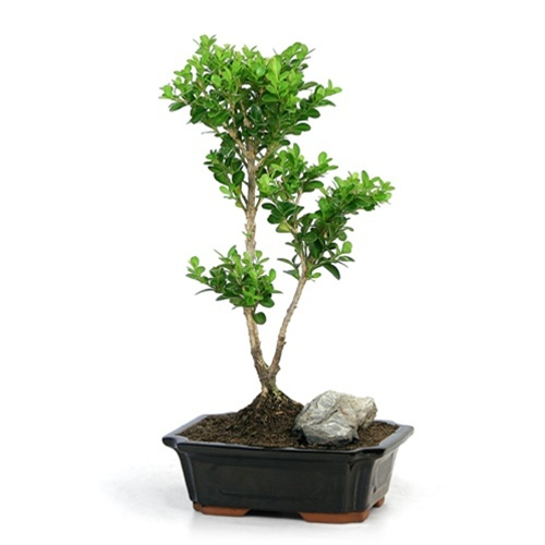 Bonsai Trained Japanese Boxwood Bonsai Tree From Easternleaf Com Boxwood Bonsai Trees Have Dense Growing Habits And A Rough Bark This Bonsai Tree Needs Minimal Sunlight Perfect For An Indoor Environment The Boxwood