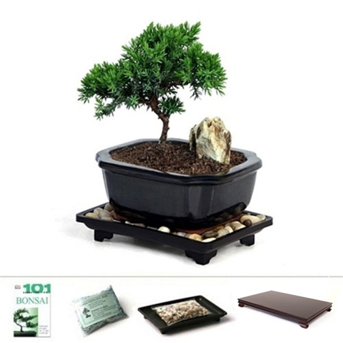 Miniature Young Juniper Bonsai Tree Gift Set