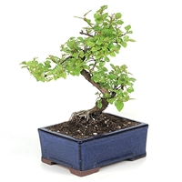 Chinese Sweet Plum Bonsai Tree (Sageretia Theezan)