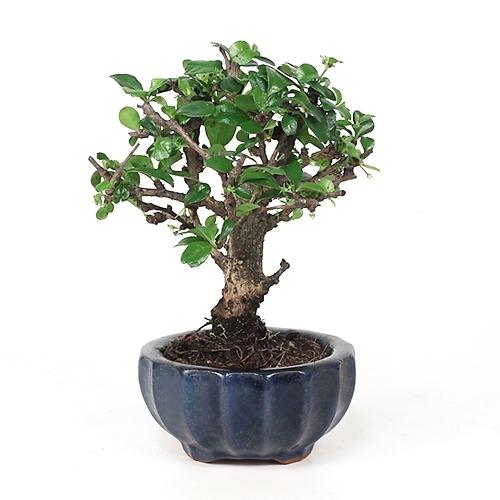 Bonzai Tree bonsai - fujian tea bonsai tree from easternleaf <!-- bonsai -->