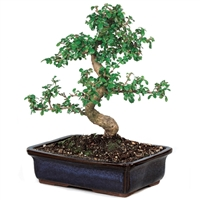 Bonsai - Fujian Tea Bonsai Tree <!-- Bonsai -->