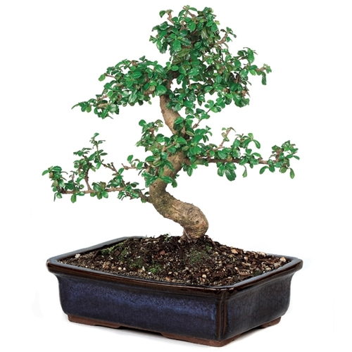 Bonsai Fujian Tea Bonsai Tree From Easternleaf Com Bonsai
