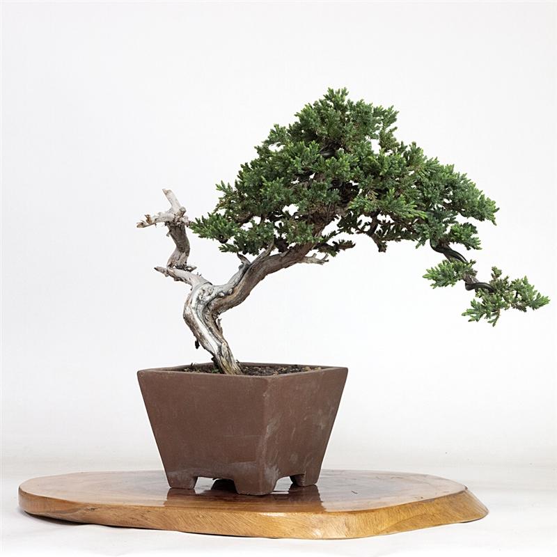 Artist Curated Juniper Bonsai