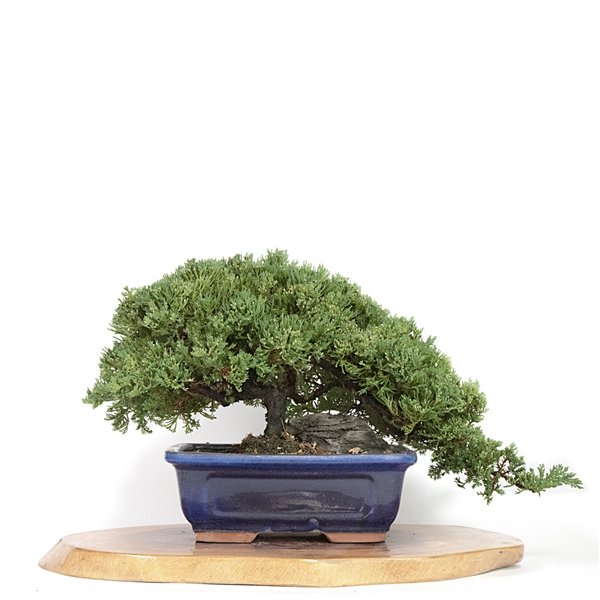 Artist Curated Bonsai