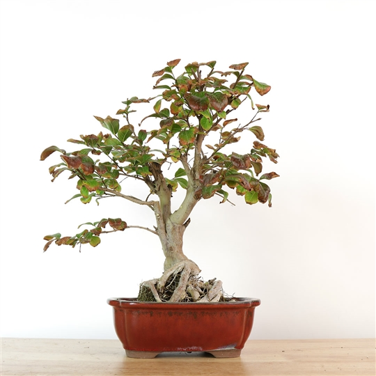 Crepe Myrtle Bonsai - 'Ron Burgun-tree'