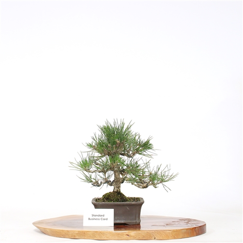 Japanese Black Pine Bonsai