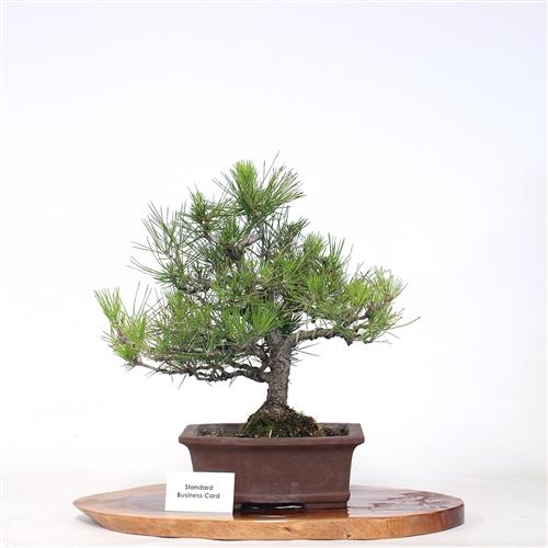 Prime Japanese Black Pine Bonsai Wiring Digital Resources Jebrpcompassionincorg