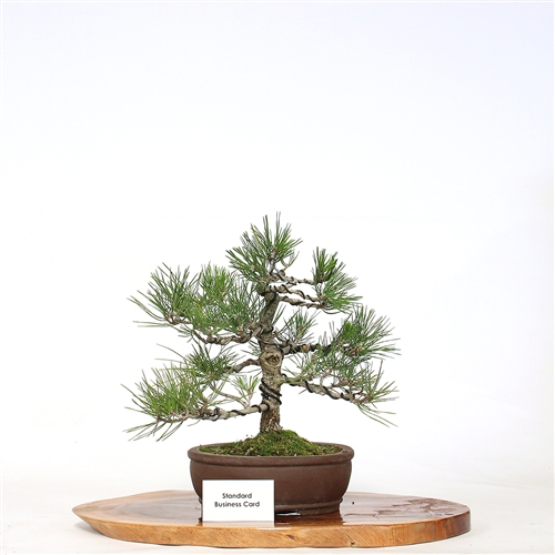 Unique Flowering Tea Tree