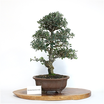 Artist Curated Olive Bonsai