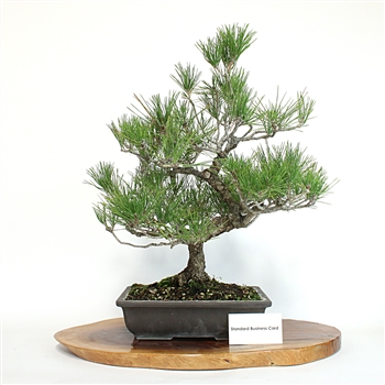 Artist Curated Japanese Black Pine Bonsai