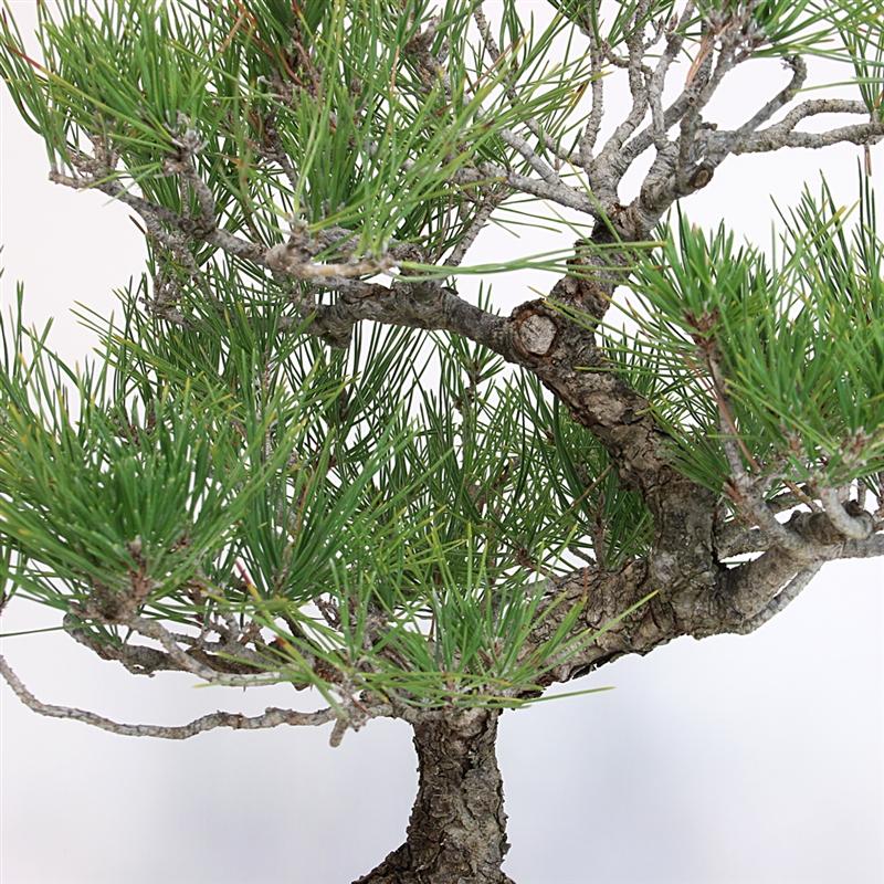 Artist Curated Japanese Black Pine Bonsai