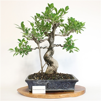 Artist Curated Golden Gate Ficus Bonsai