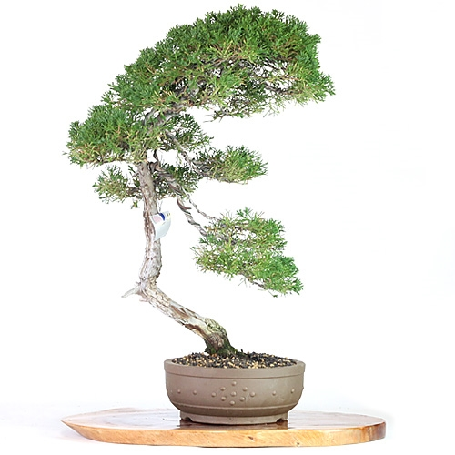 Artist Curated Juniper Bonsai