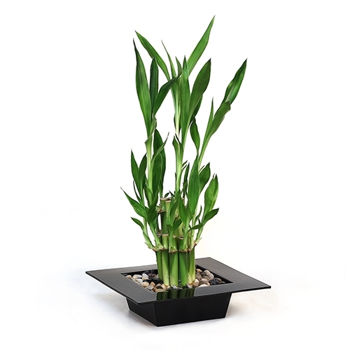 Mini Bamboo Plant : Lucky bamboo arrangement tiered