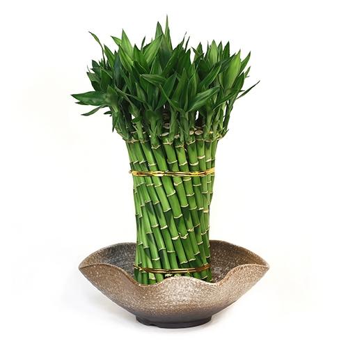 lucky bamboo arrangement spiraling dragon lucky bamboo. Black Bedroom Furniture Sets. Home Design Ideas