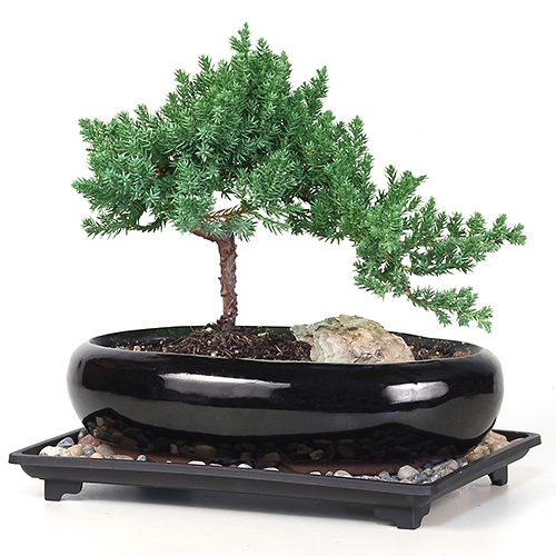 Bonsai Medium Rock Juniper Bonsai Tree From Easternleaf Com The Old Age Of The Bonsai Tree Strengthens The Trees Ability To Withstand Extremely Hardy And Can Withstand Cold Weather But Provide Protection