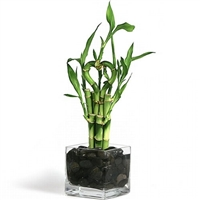 Lucky Bamboo Arrangement -  Heart 7 Shaped Lucky Bamboo