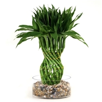 Lucky Bamboo Arrangement - Modern Pineapple Braided Lucky Bamboo