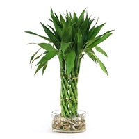 Lucky Bamboo Arrangement -
