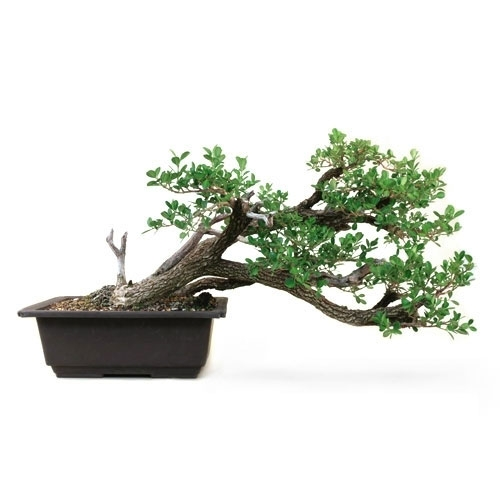 Informal Cascade Boxwood Bonsai Tree